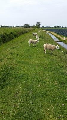 Wandelen over het Groot Frieslandpad langs schapen op de dijk langs het kanaal Kanaal Alkmaar-Kolhorn