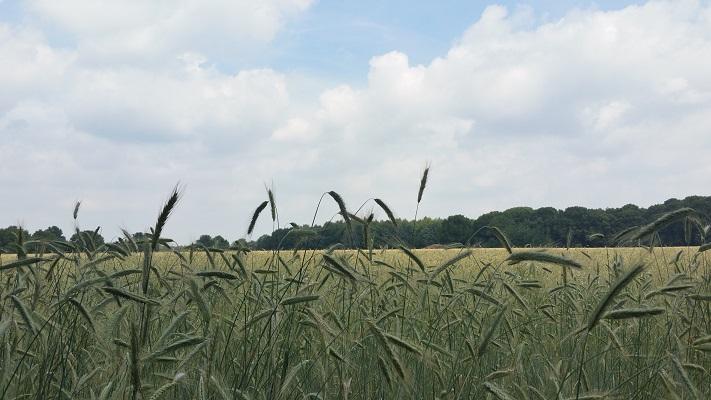 Wandelen over het Hugo de Grootpad bij graanvelden bij Regteheide