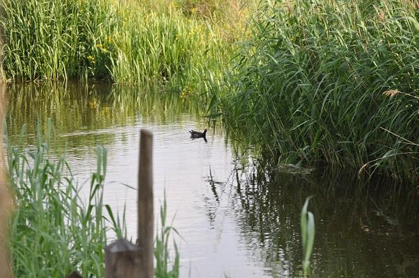 Eenden tijdens wandeling langs riviertje de Leijgraaf van Boekel naar Middelrode