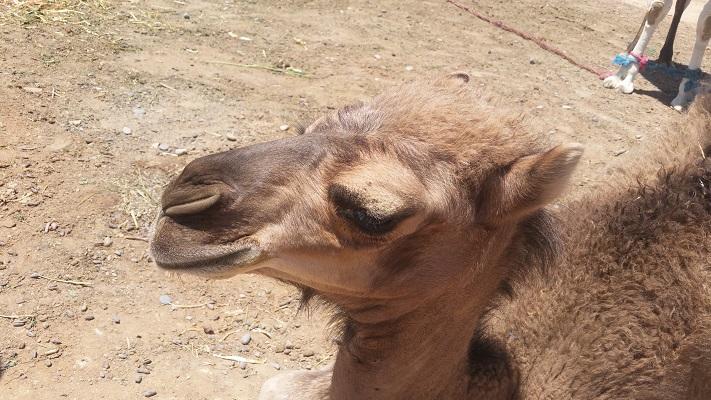 Kameel tijdens wandelreis in Marokko