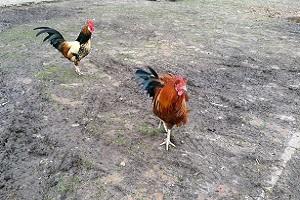 Kippen op een wandeling over het Noardlike Fryske Wâldenpad