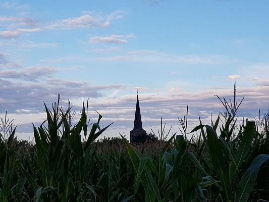 Wandelen over het Peelpad met zicht op kerk Grashoek boven de maïs