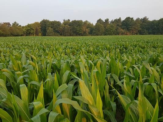 Wandelen over het Peelpad langs maïs bij Liessel