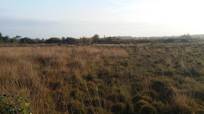 Wandelen over het Peelpad bij runderen op heidegebied in De Groote Peel