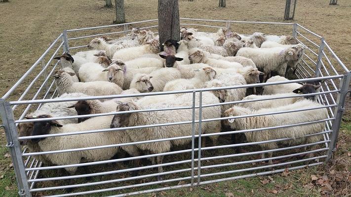 Wandelen over het Peerkepad in de voetsporen van Peerke Donders bij schapen bij Bunde