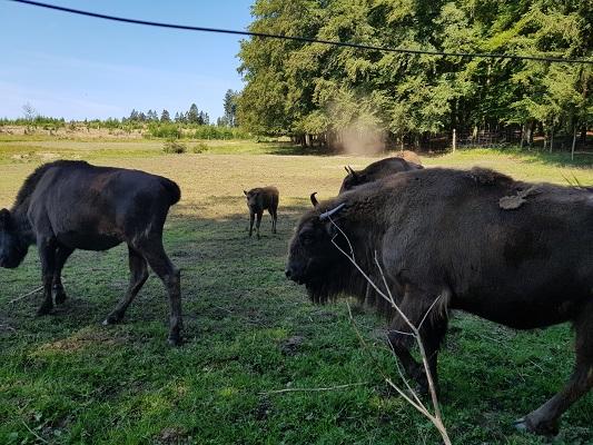 Wisenten tijdens wandeling door Wisentpark op wandelreis over Rothaarsteige in Sauerland in Duitsland