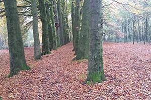 Beukenbomen tijdens wandeling over het Scholtenpad