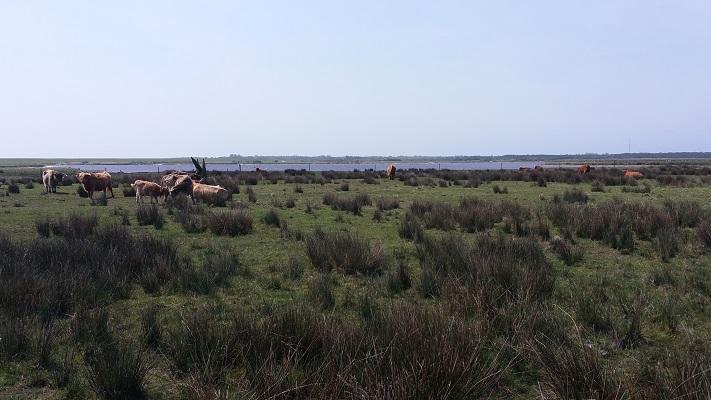 Koeien bij Hopp in een wandeling WaddenWandelen op Borkum