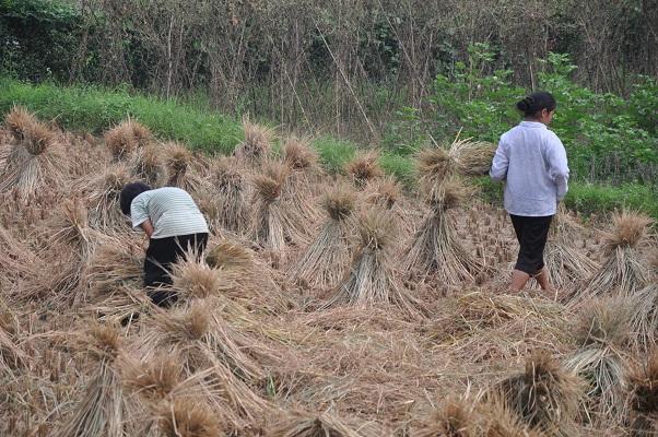 Vrouwen die graan opsteken tijdens wandeling in karstgebied bij Guilin in China