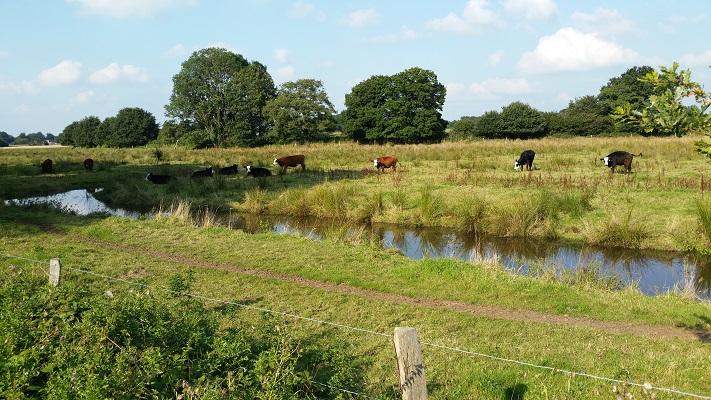 Grazende koeien langs Ruiten Aa op wandeling over Westerwoldepad van Sellingen naar Vlagtwedde