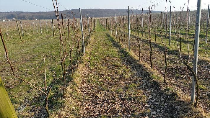 Wijngaard tijdens wijnwandeling van Wanda Catsman in Groesbeek