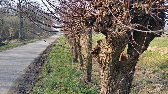 Knotwilgen tijdens wijnwandeling van Wanda Catsman in Groesbeek