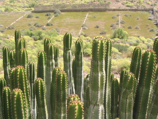 Cactussen bij Montana las Tierras tijdens een wandelvakantie op Canarisch Eiland Gran Canaria