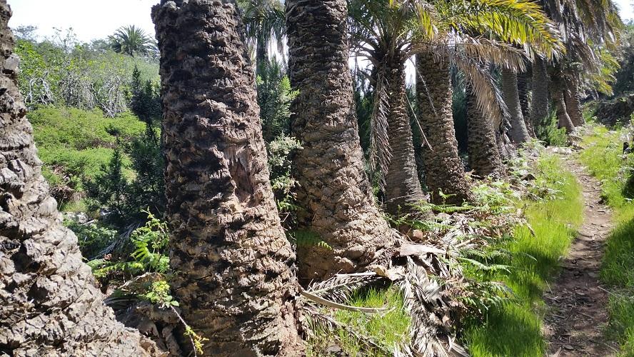 Palmbomen bij Las Hayas Barranco tussen Las Hayas en El Cercado tijdens wandeling op een wandelvakantie op La Gomera op de Canarische Eilanden
