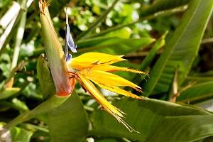 Paradijsbloem tijdens wandelvakantie op Portugees bloemeneiland Madeira