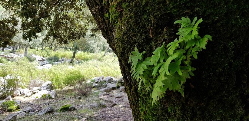 Plantengroei op bomen op wandelvakantie in Tramuntanagebergte op Spaans eiland Mallorca