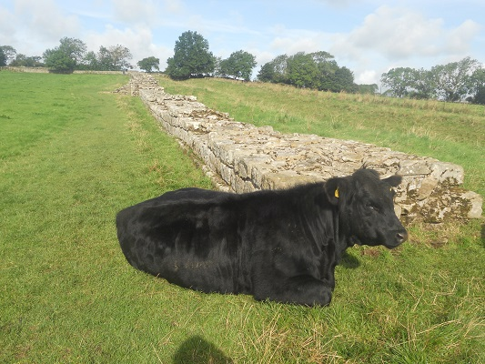 Koe bij de Muur van Hadrianus op een wandeling van Chollerford naar Once Brewed op wandelreis over Muur van Hadrianus in Engeland
