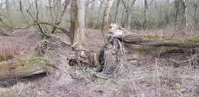 Boomstronken omgewaaide bomen op IVN-wandeling door de Millingerwaard
