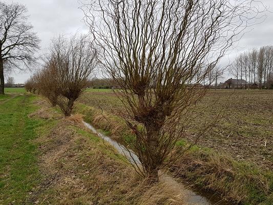 Knotwilgen tijdens een ommetje Vorstenbosch, mijn geboorteplaats.