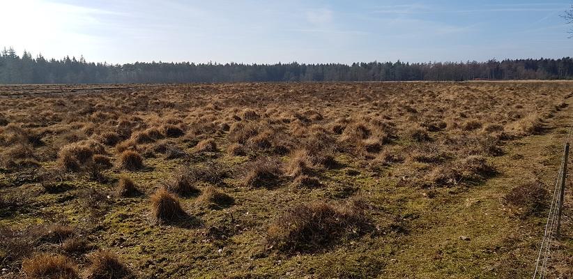 Heide bij Kamp Westerbork op wandeling over het Roots Natuurpad van Papenvoort naar Hooghalen