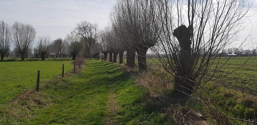 Wandelen over Berg- en Breukroute in Uden langs knotwilgen bij Peelrandbreuk