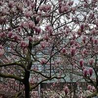 Bomenwandeling langs de meest bijzondere bomen in de binnenstad van Amersfoort