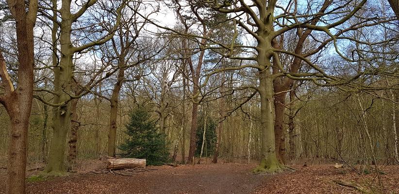 Wandelen over trage tocht Lisse bij beukenboom in landgoed Keukenhof