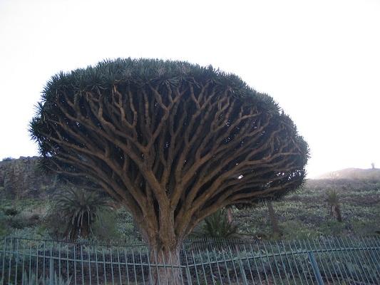Wandeling op La Gomera naar de drakenbloedboom bij Alojero