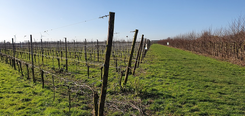 Wijnwandeling Buren bij Betuws Wijndomein