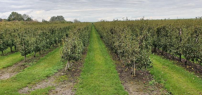 Wandeling over het Grenslandpad van Kloosterzande naar Terneuzen bij een perenboomgaard