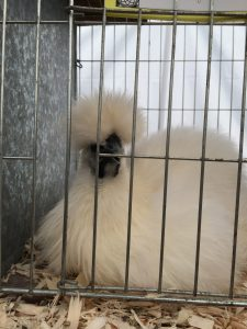 A Silkie - a fluffy variety of chicken