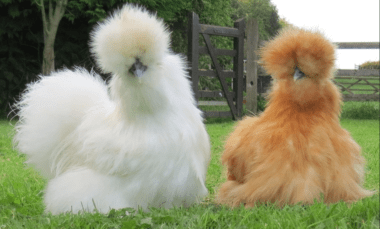 Silkie breed of chickens