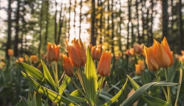 fleurs bulbeuses