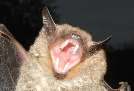 Image result for big brown bat