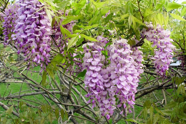 Wisteria is Poisonous