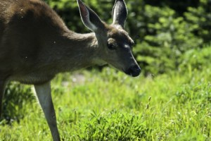 Learn how to protect your native plants from deer!