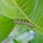 Learn how you can create a habitat for caterpillars and adult butterflies.