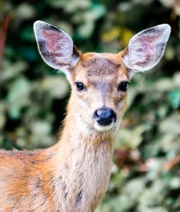 Discover how to deter deer from your native plants!