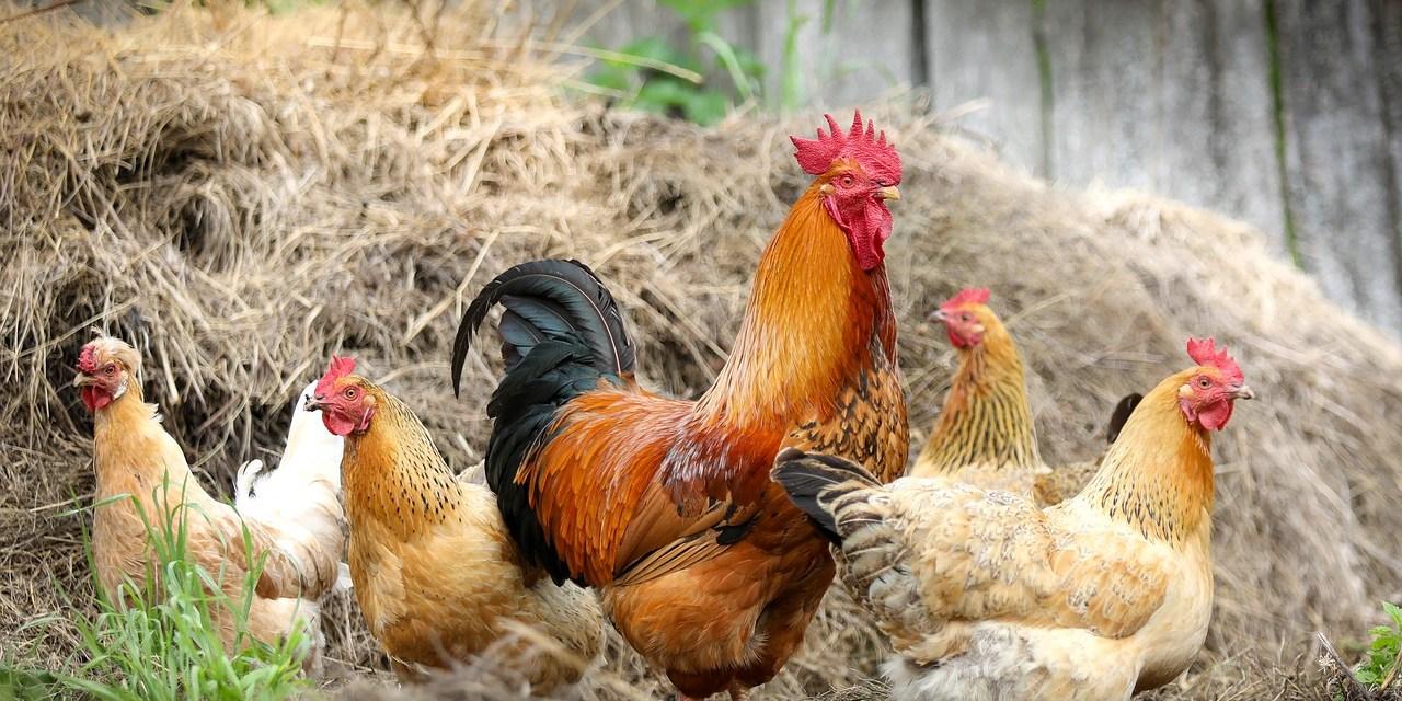 Clan-Based Chicken Breeding for Genetic Diversity