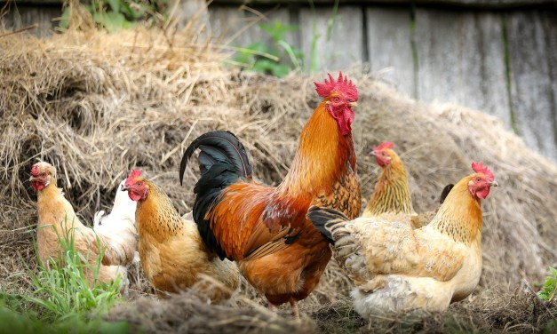 Clan-Based Chicken Breeding for Genetic Diversity