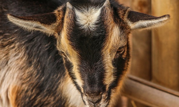 Goat Math: Becoming Dairy Sustainable
