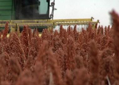 gluten-free sorghum farming