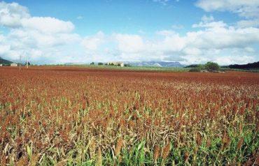 Sorghum Farm Bill