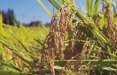 Benefits of Sorghum