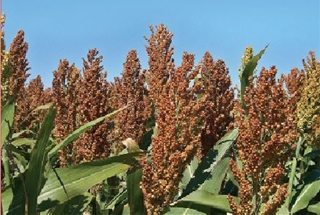 Sorghum Chinese Imports