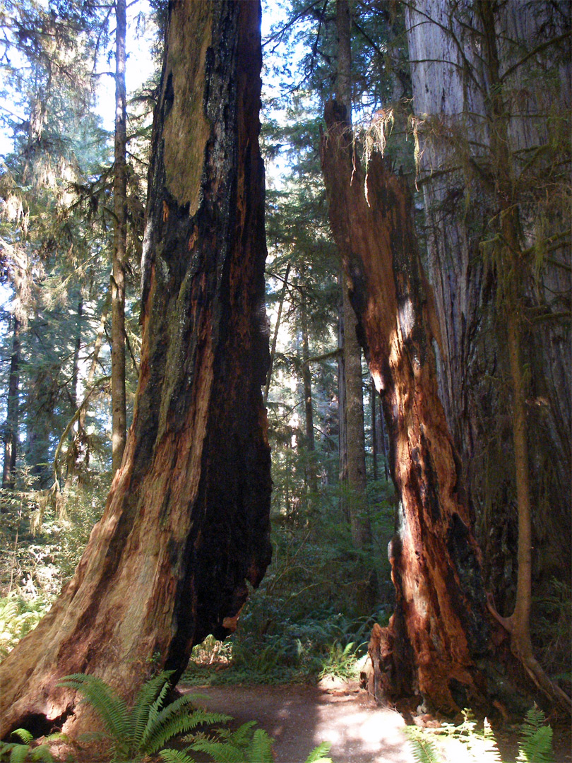 Split Redwood Stump Jedediah Smith Redwoods State Park California
