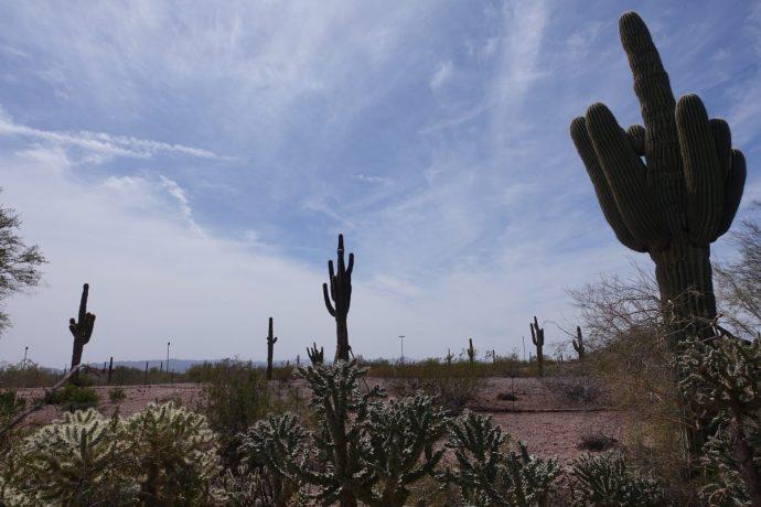 Desert Botanical Garden Cacti