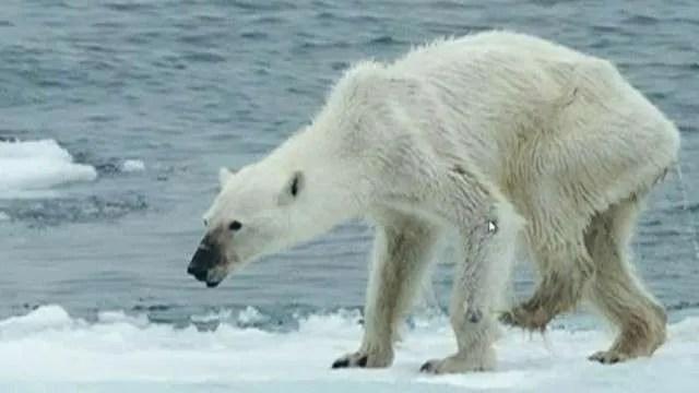 oso polar desnutrido 2015