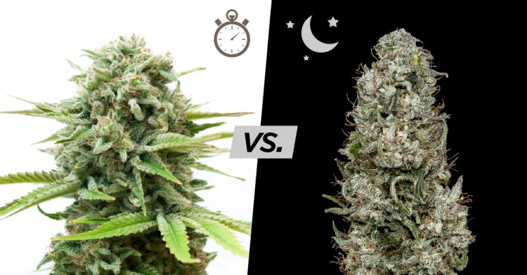 autos vs photos, Autoflowering Cannabis Plants, pots for growing cannabis,Cannabis growers forum & community, How to grow cannabis, how to grow weed, a step by step guide to growing weed, cannabis growers forum, need help with sick plant, what's wrong with my cannabis plant, percys Grow Room, the Grow Room, percys Grow Guides, we'd growing forum, weed growers community, how to grow weed in coco, when is my cannabis plant ready for harvest, how to feed my cannabis plant, beginners guide to growing weed, how to grow weed for personal use, cannabis plant deficiency, how to germinate cannabis seeds, where to buy cannabis seeds, best weed growers website