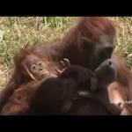 Puur natuur: de geboorte van een orang-oetan